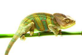 kameleon uczuciowy